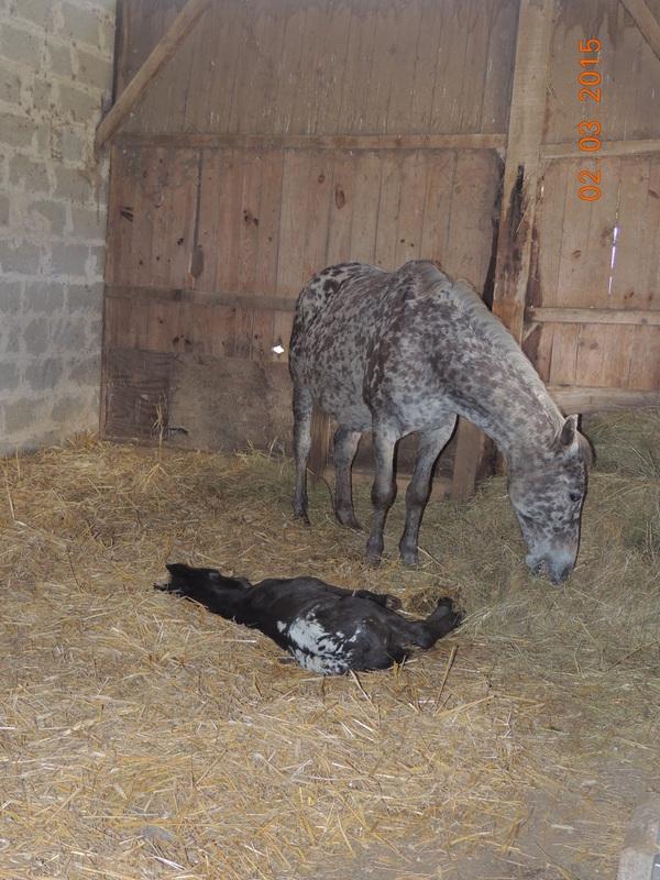 Les poulains né à l'Appaloosa IJ Farm - Page 7 10310
