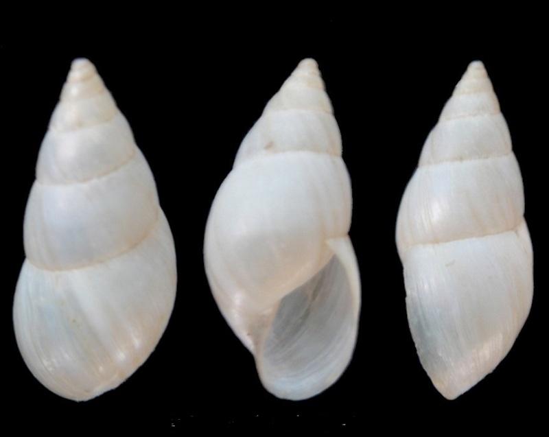 Bulimulus bonariensis d'Orbigny, 1835 Bulimu10