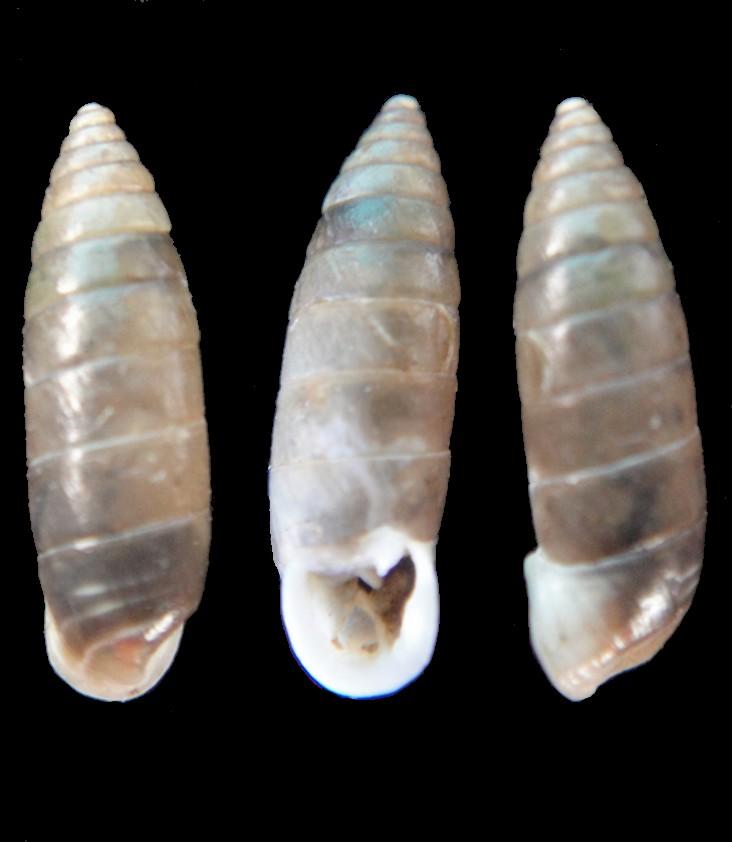 Granaria variabilis (Draparnaud, 1801) Chatea10