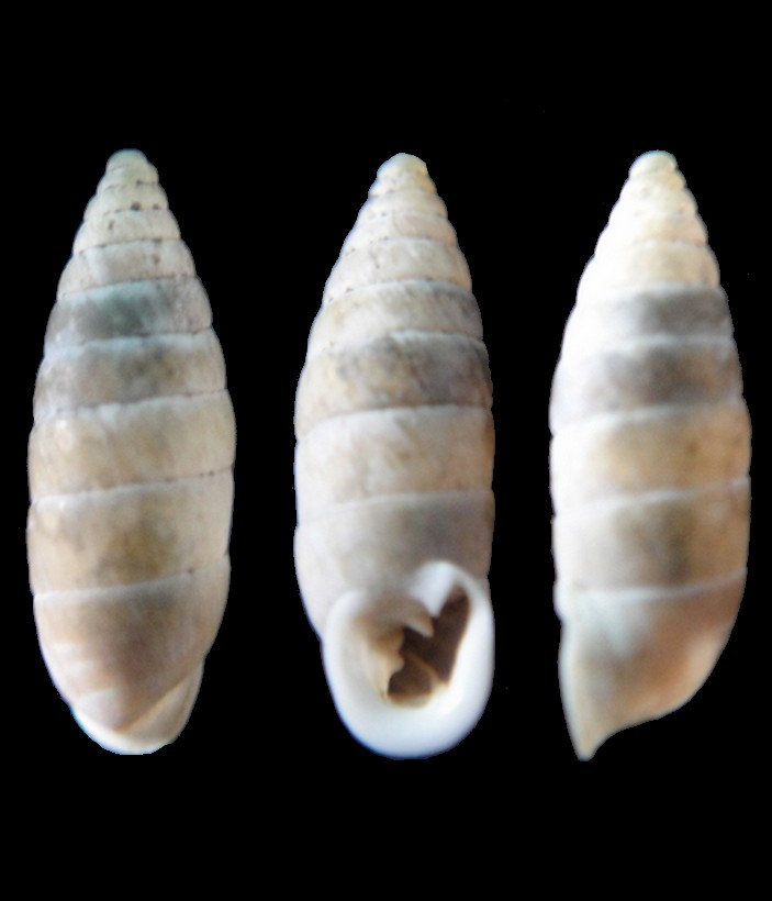 Granaria variabilis (Draparnaud, 1801) Granar10