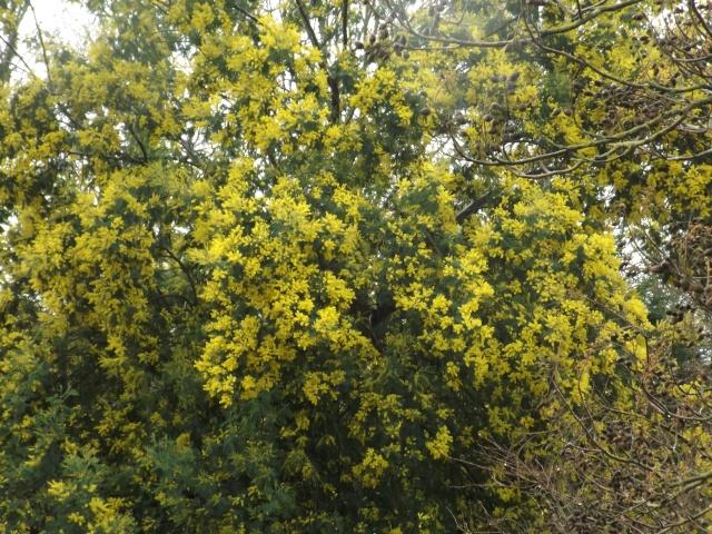 ça commence a fleurir...(Mimosa, Acacia dealbata) - Page 5 00211