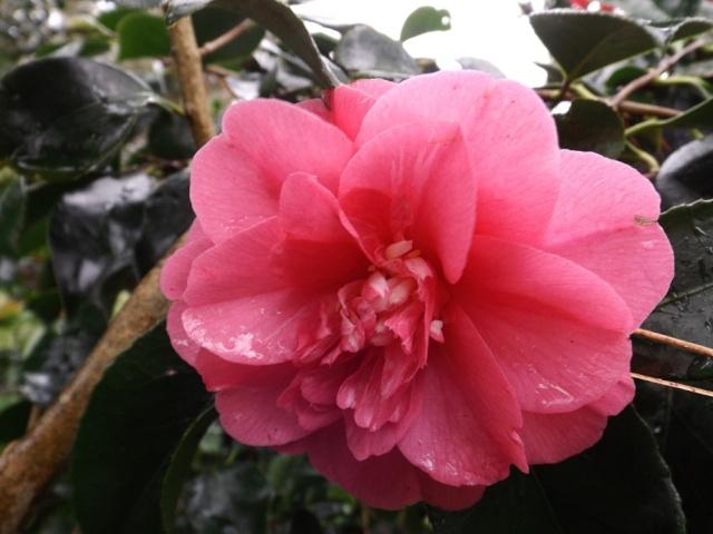 Floraisons de janvier - Page 11 00517