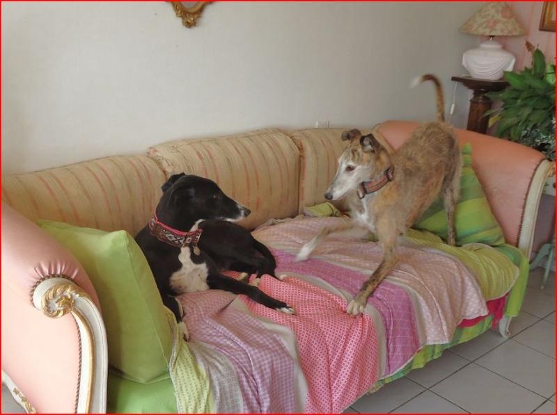 """Ramis –  beau et adorable galgo à l'adoption"""" Scooby France"""" Adopté  - Page 4 Ramis114"""