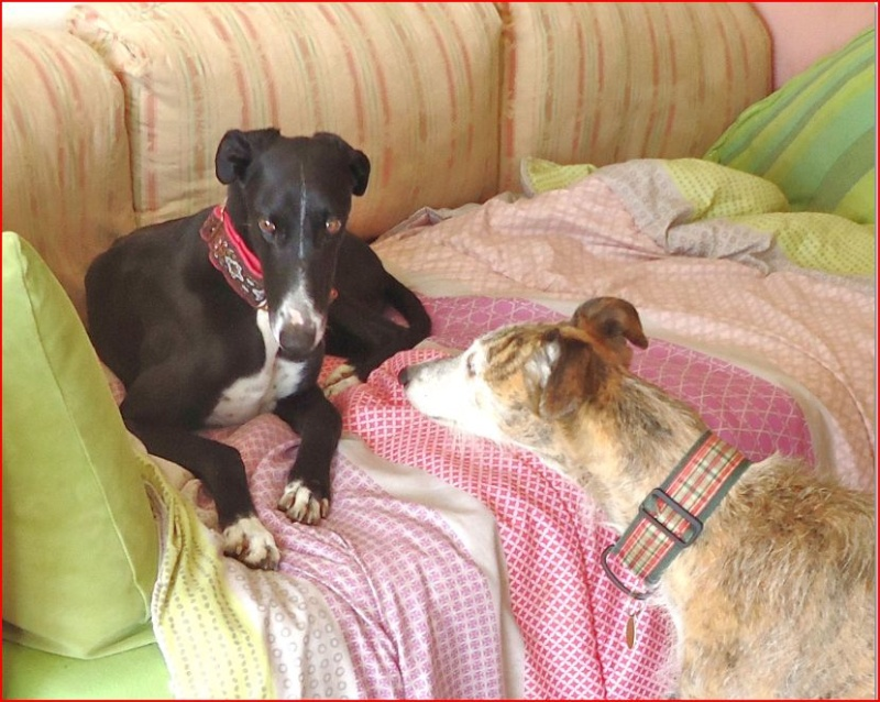 """Ramis –  beau et adorable galgo à l'adoption"""" Scooby France"""" Adopté  - Page 4 Ramis117"""
