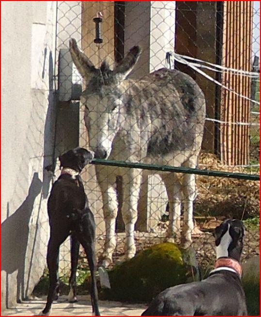 """Ramis –  beau et adorable galgo à l'adoption"""" Scooby France"""" Adopté  - Page 4 Ramis119"""