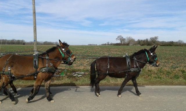 Mon projet d'attelage à 4 mules pas à pas ... - Page 3 11053610