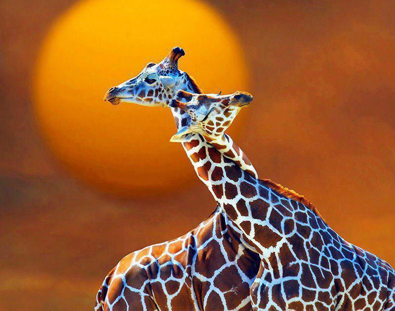 Happy Birthday Giraff Girafe10