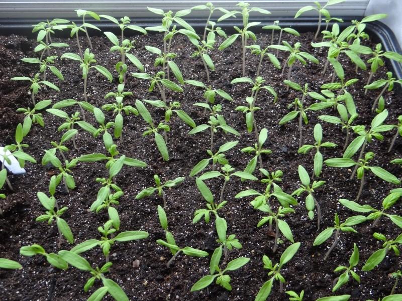 semis de tomates - Page 4 Dsc02619