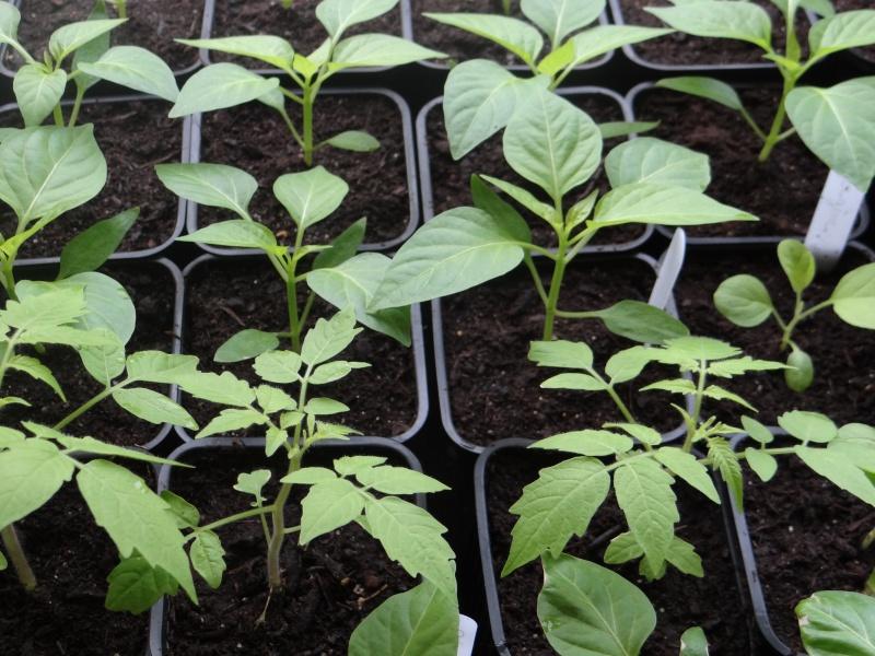semis de tomates - Page 5 Dsc02622