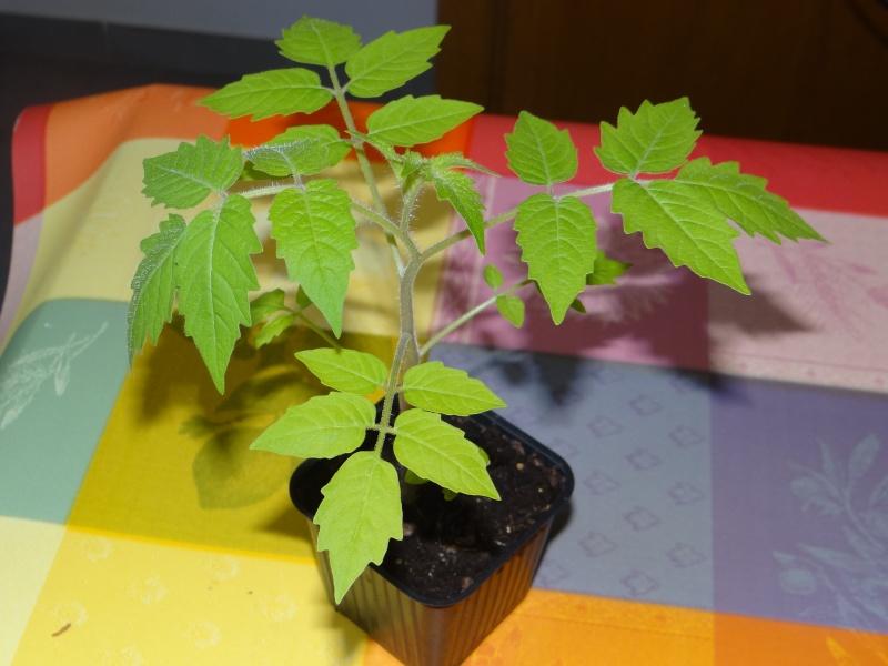 greffage de plants de légumes Dsc02628