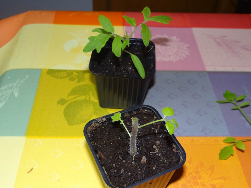 greffage de plants de légumes Dsc02629
