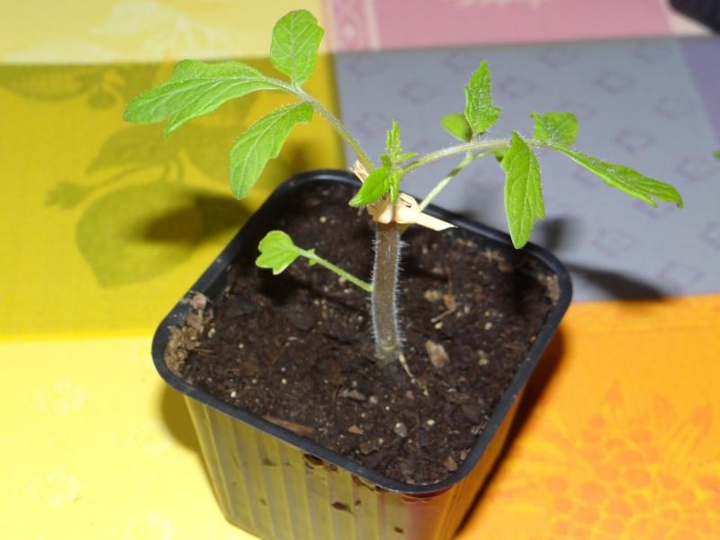 greffage de plants de légumes Dsc02630
