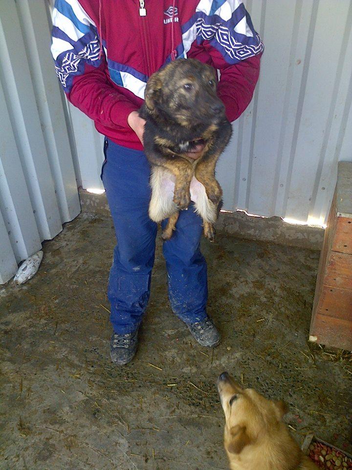 JUNGLE - chiot mâle croisé berger né env septembre 2014 - adopté par Laeticia (dpt88) - Page 2 11040610