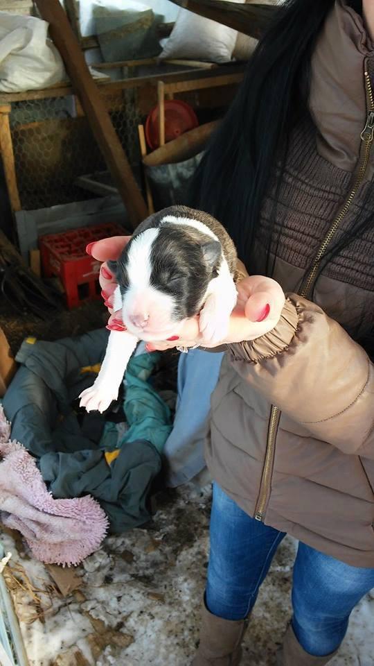 HATCHI, chiot mâle croisé né en 2015 (Pascani) - en pension chez Lucian - adopté par Nathalie (dpt68) Hatchi11