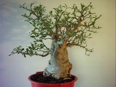 semis de baobabs - Page 2 Baobab10