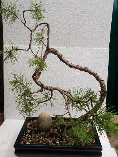 Bonsaï pin en formation Juille12