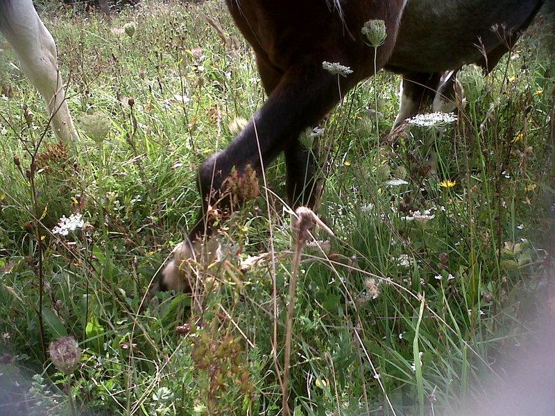 PRUNELLE - ONC poney née en 1986  - adoptée en octobre 2012 par Prosper Img00216