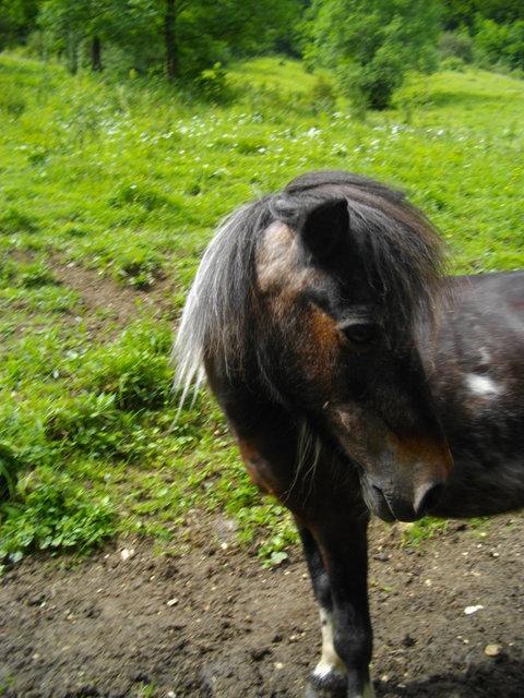 PRUNELLE - ONC poney née en 1986  - adoptée en octobre 2012 par Prosper Imgp0717