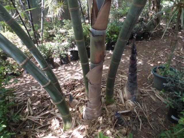 Qui cultive les bambous ? Dsc00105