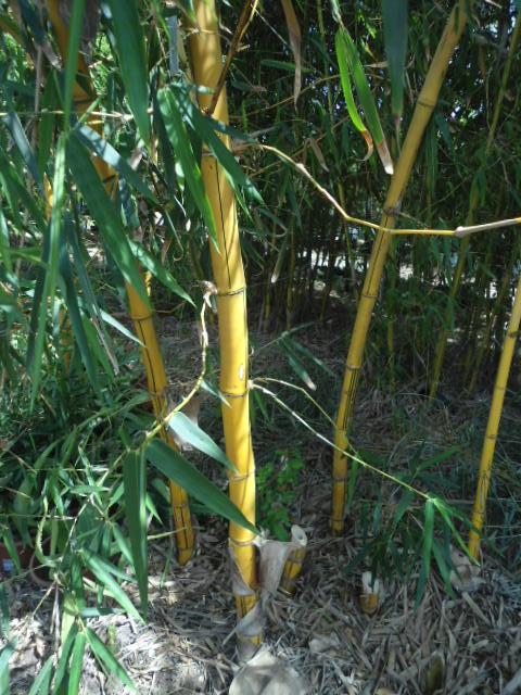 Qui cultive les bambous ? Dsc00106