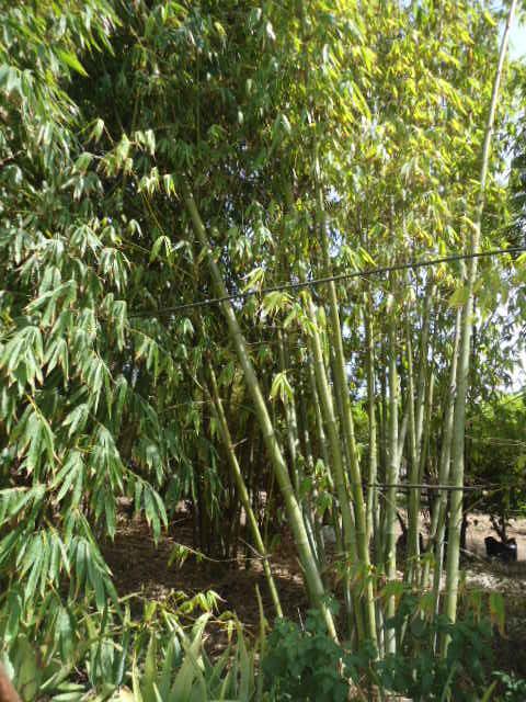 Qui cultive les bambous ? Dsc00107