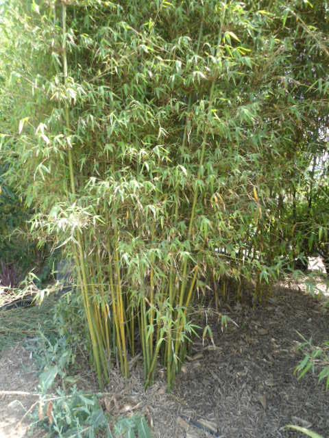 Qui cultive les bambous ? Dsc00108