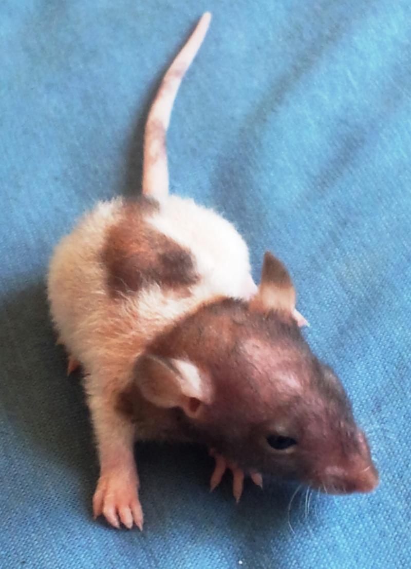 Mes rats d'amour 20130614