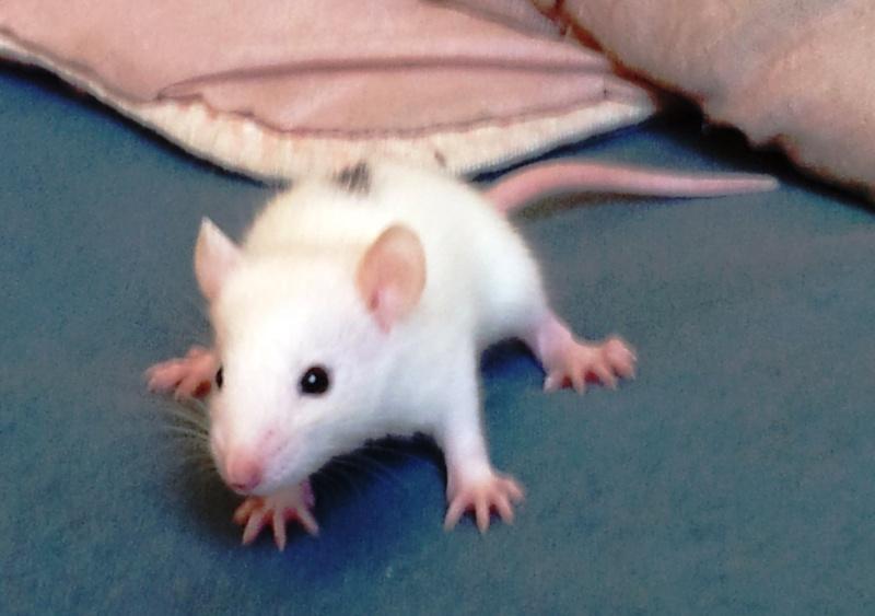Mes rats d'amour 20130616