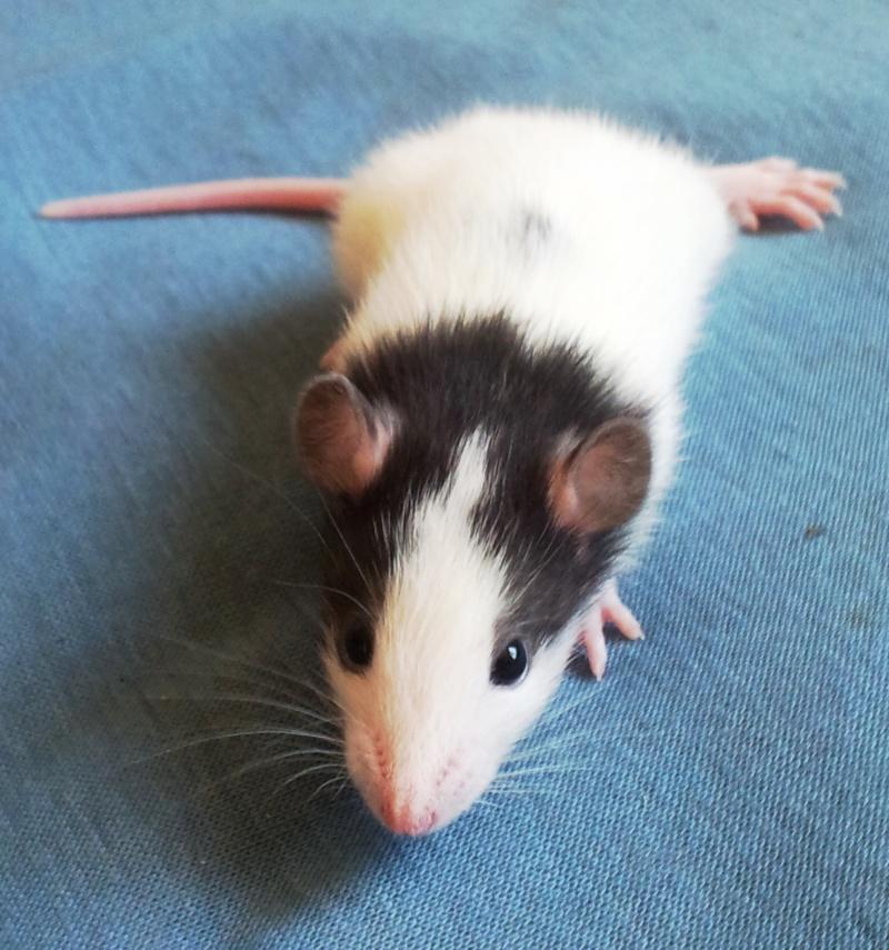 Mes rats d'amour 20130617