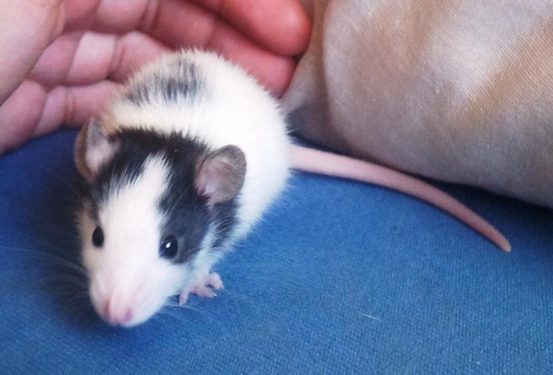 Mes rats d'amour 20130618