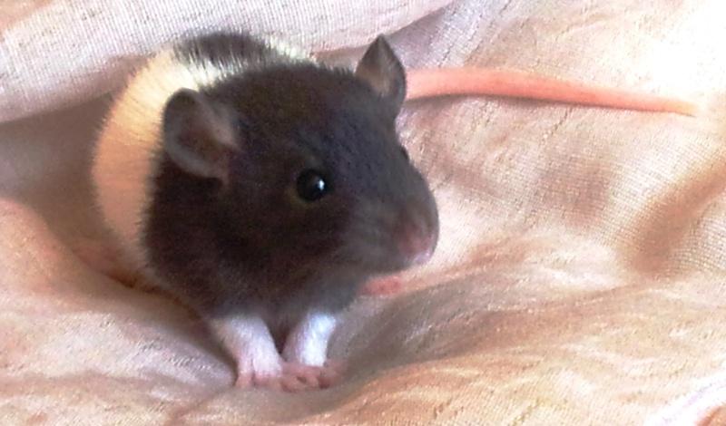 Mes rats d'amour 20130619