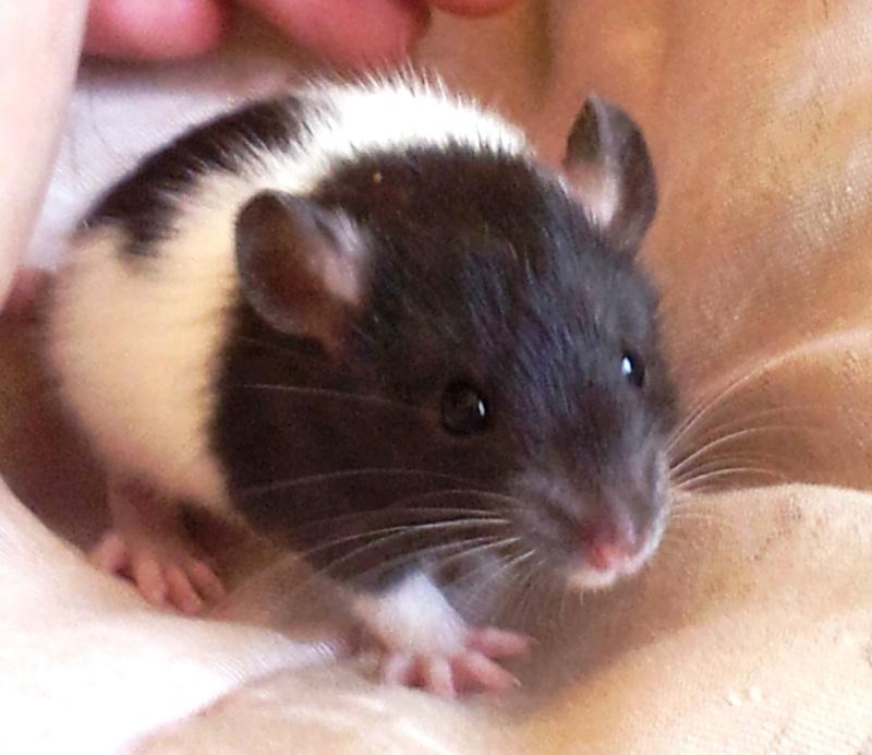 Mes rats d'amour 20130620