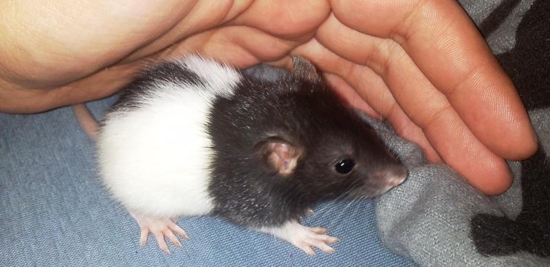 Mes rats d'amour 20130621