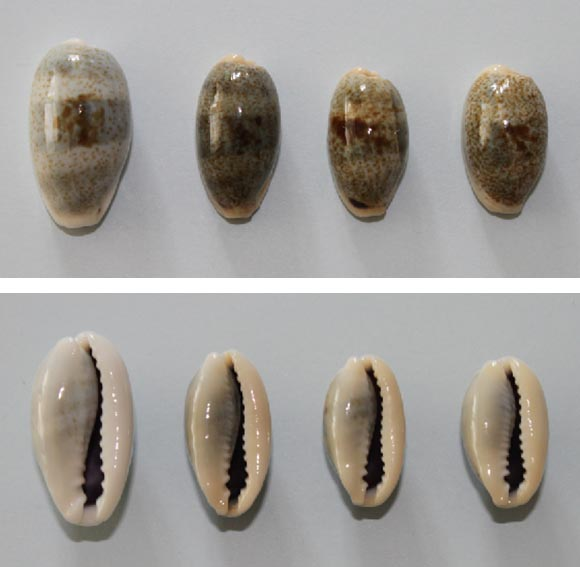 Erronea errones caerulescens - (Schröter, 1804) Errone10