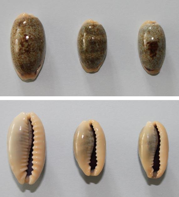 Erronea errones caerulescens - (Schröter, 1804) Errone11