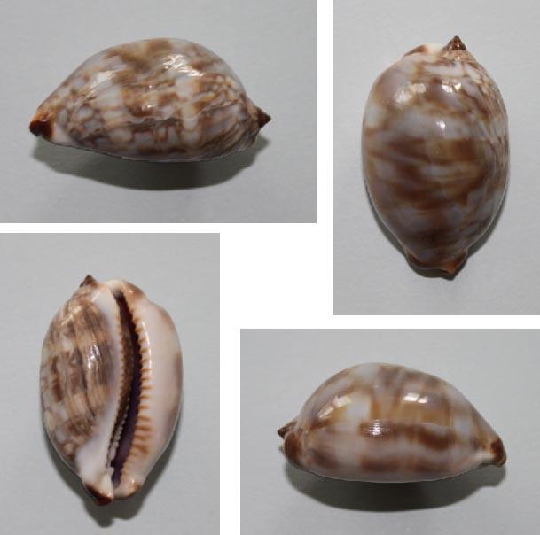 Mauritia maculifera scindata - Lorenz, 2002 Juvyni10