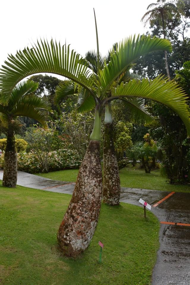 (972) Le jardin botanique de Balata - Martinique 21janv26