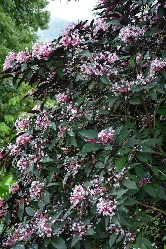 (972) Le jardin botanique de Balata - Martinique 21janv27