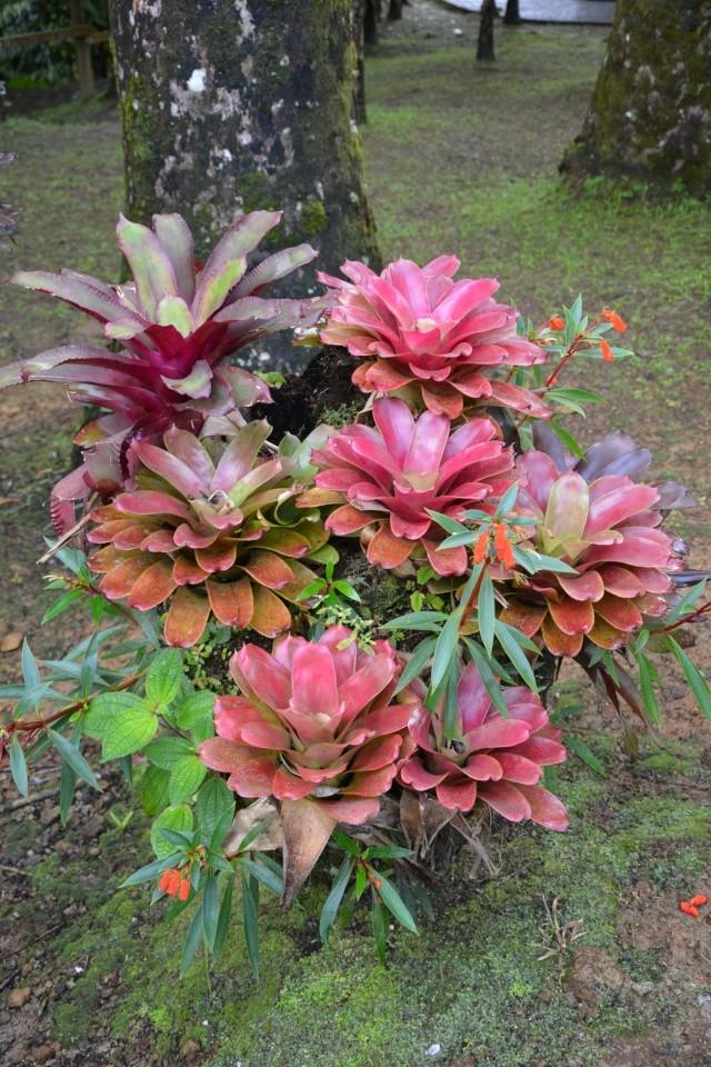(972) Le jardin botanique de Balata - Martinique - Page 2 21janv41