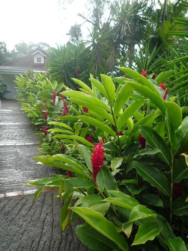 (972) Le jardin botanique de Balata - Martinique P1100733