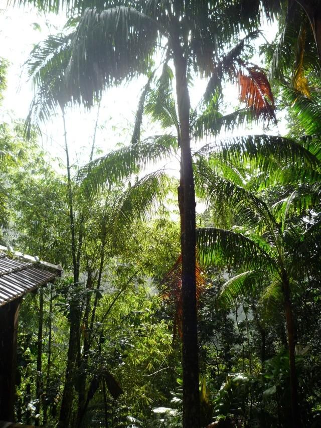 (972) Le jardin botanique de Balata - Martinique P1100740