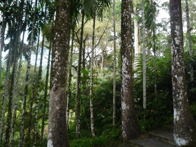 (972) Le jardin botanique de Balata - Martinique P1100742