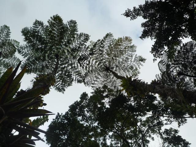 (972) Le jardin botanique de Balata - Martinique P1100745