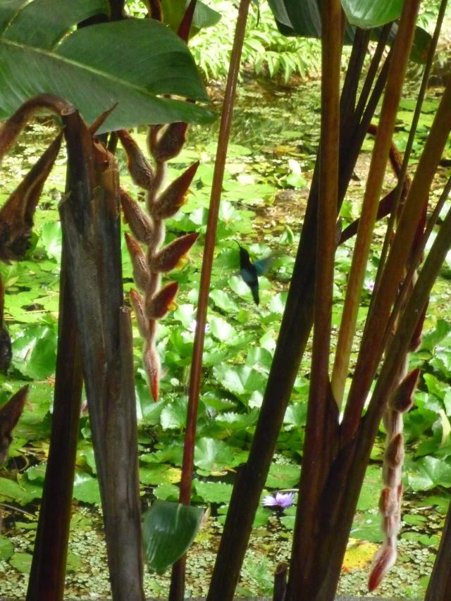 (972) Le jardin botanique de Balata - Martinique P1100746