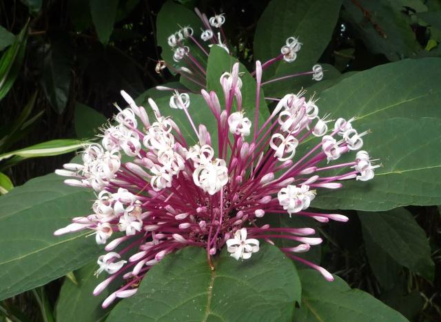 (972) Le jardin botanique de Balata - Martinique P1100748