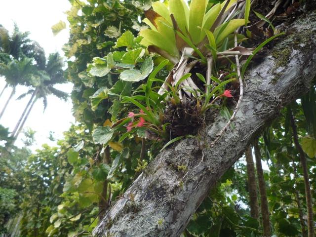 (972) Le jardin botanique de Balata - Martinique - Page 2 P1100749