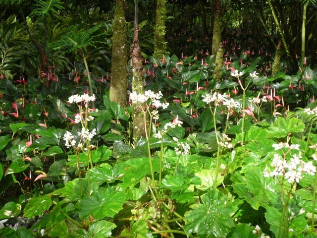 (972) Le jardin botanique de Balata - Martinique - Page 2 P1100756