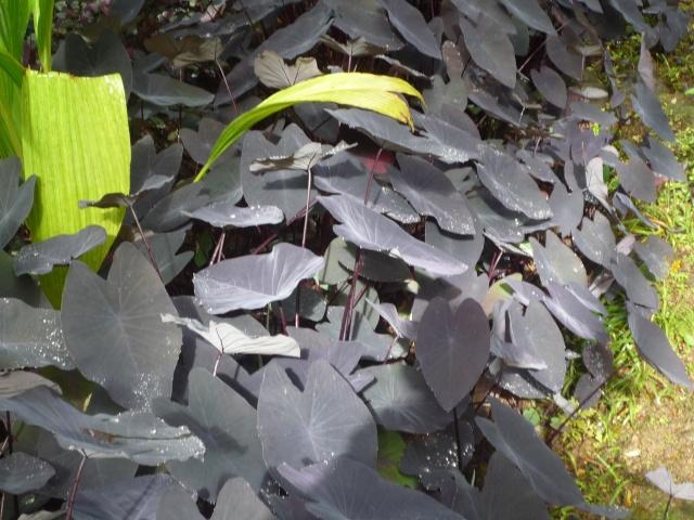 (972) Le jardin botanique de Balata - Martinique - Page 2 P1100757