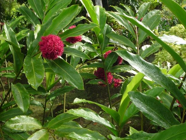 (972) Le jardin botanique de Balata - Martinique - Page 2 P1100759