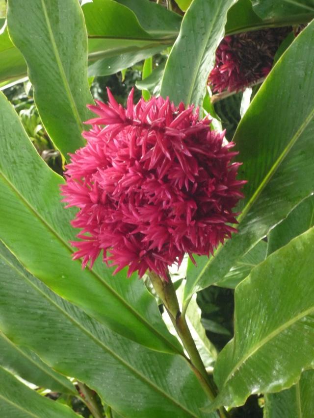 (972) Le jardin botanique de Balata - Martinique - Page 2 P1100760